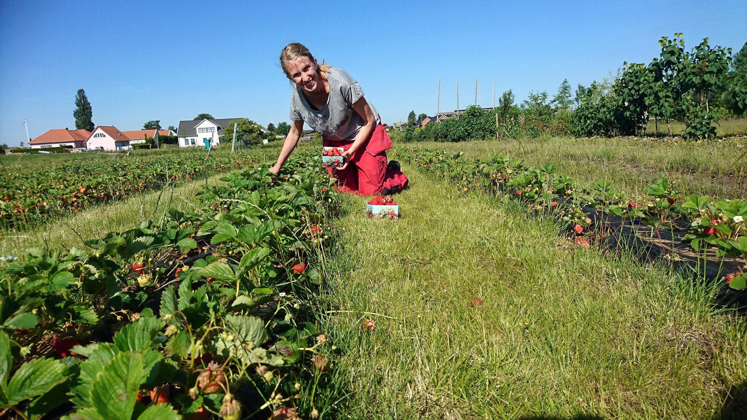 självplock jordgubbar vellinge