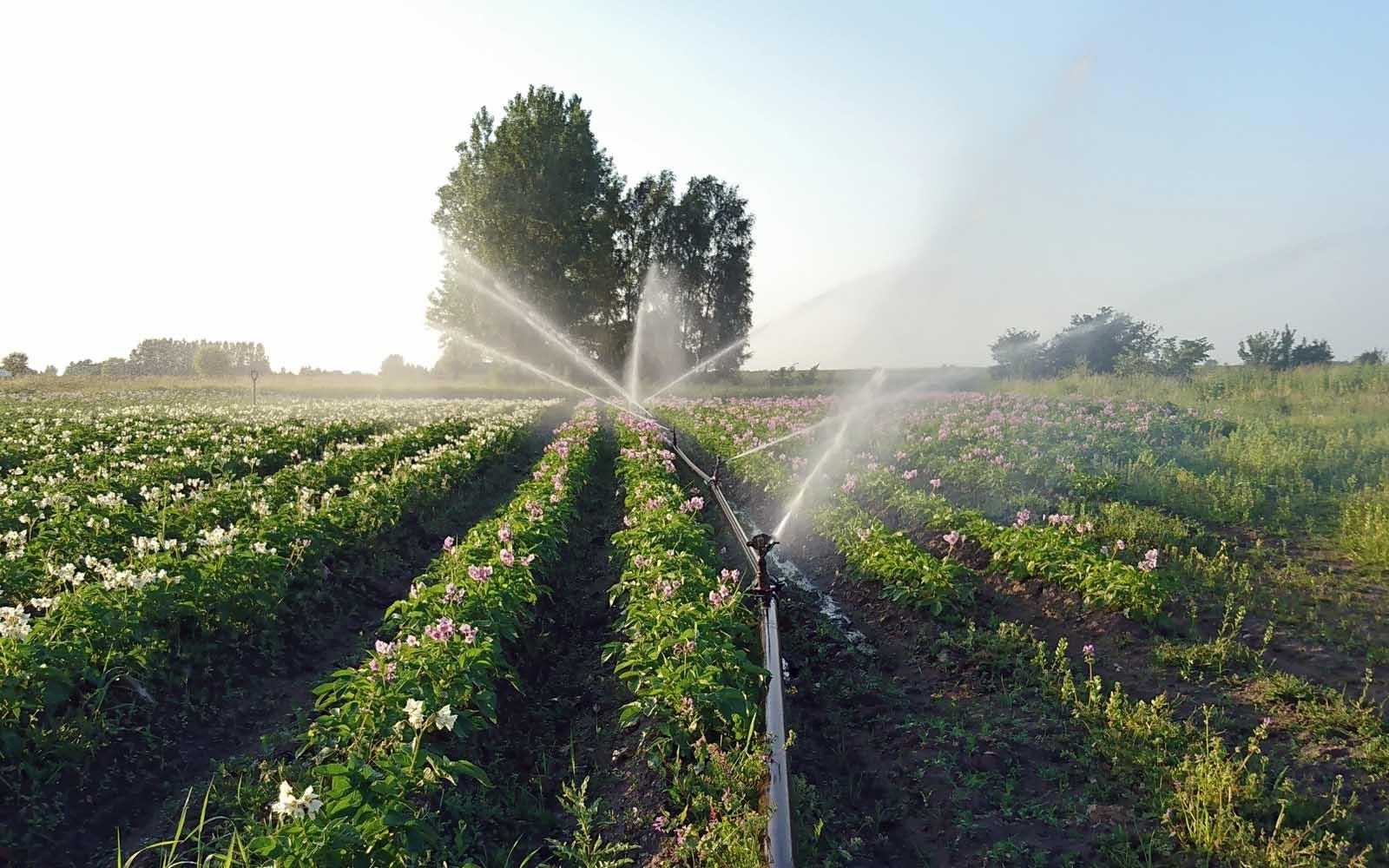 Bevattning av potatislandet