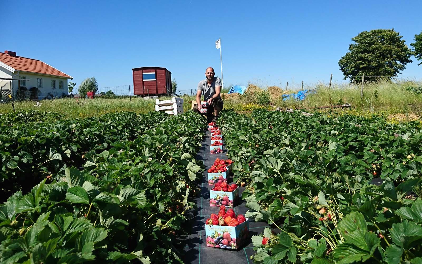 Olof på fältet med nio fyllda jordgubbsaskar i rad