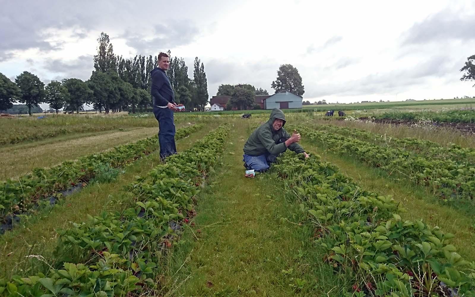 Några av våra goda vänner hjälper till på jordgubbsfälten