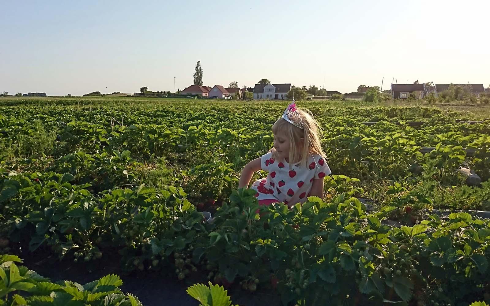 Dottern Ingrid hjälper till på jordgubbsfältet