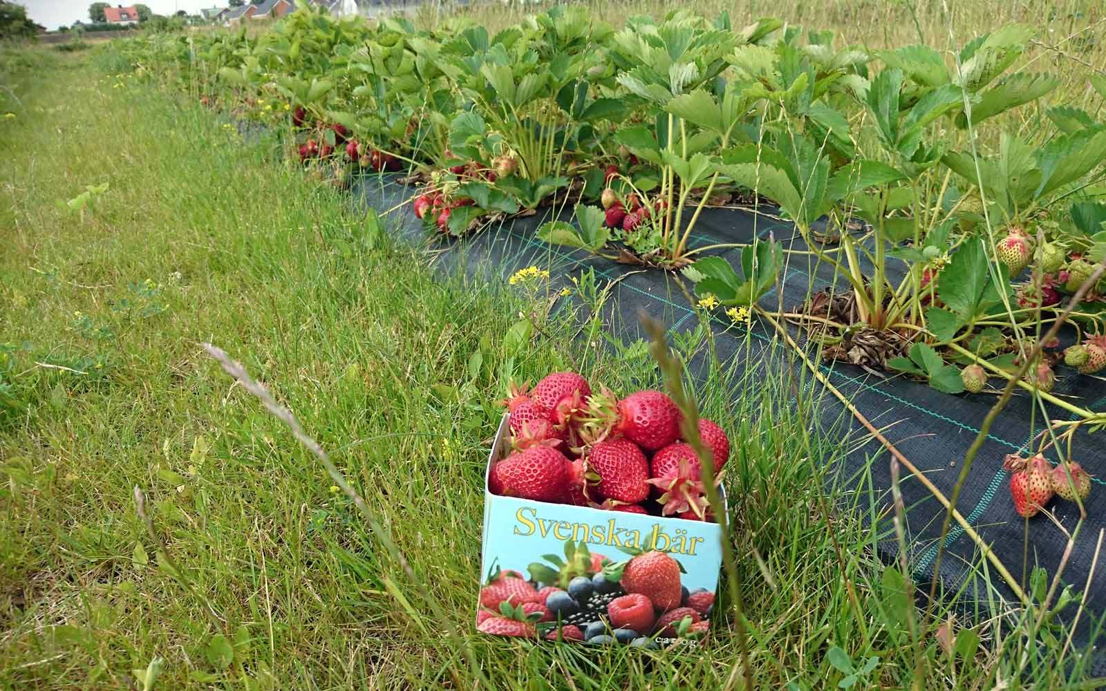 En ask full med jordgubbar bredvid jordgubbsplantor