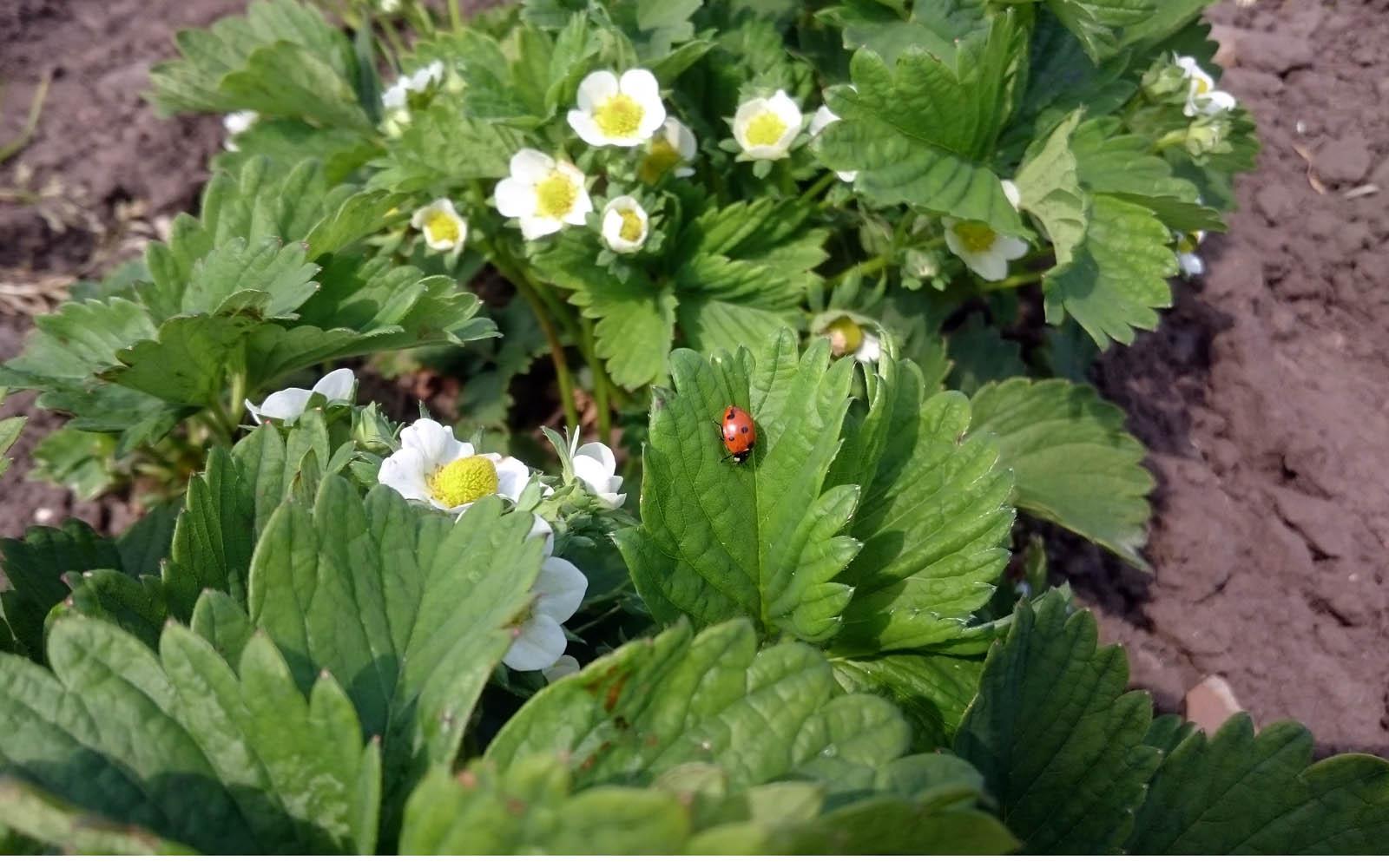 En nyckelpiga på en av våra ekologiska jordgubbsplantor
