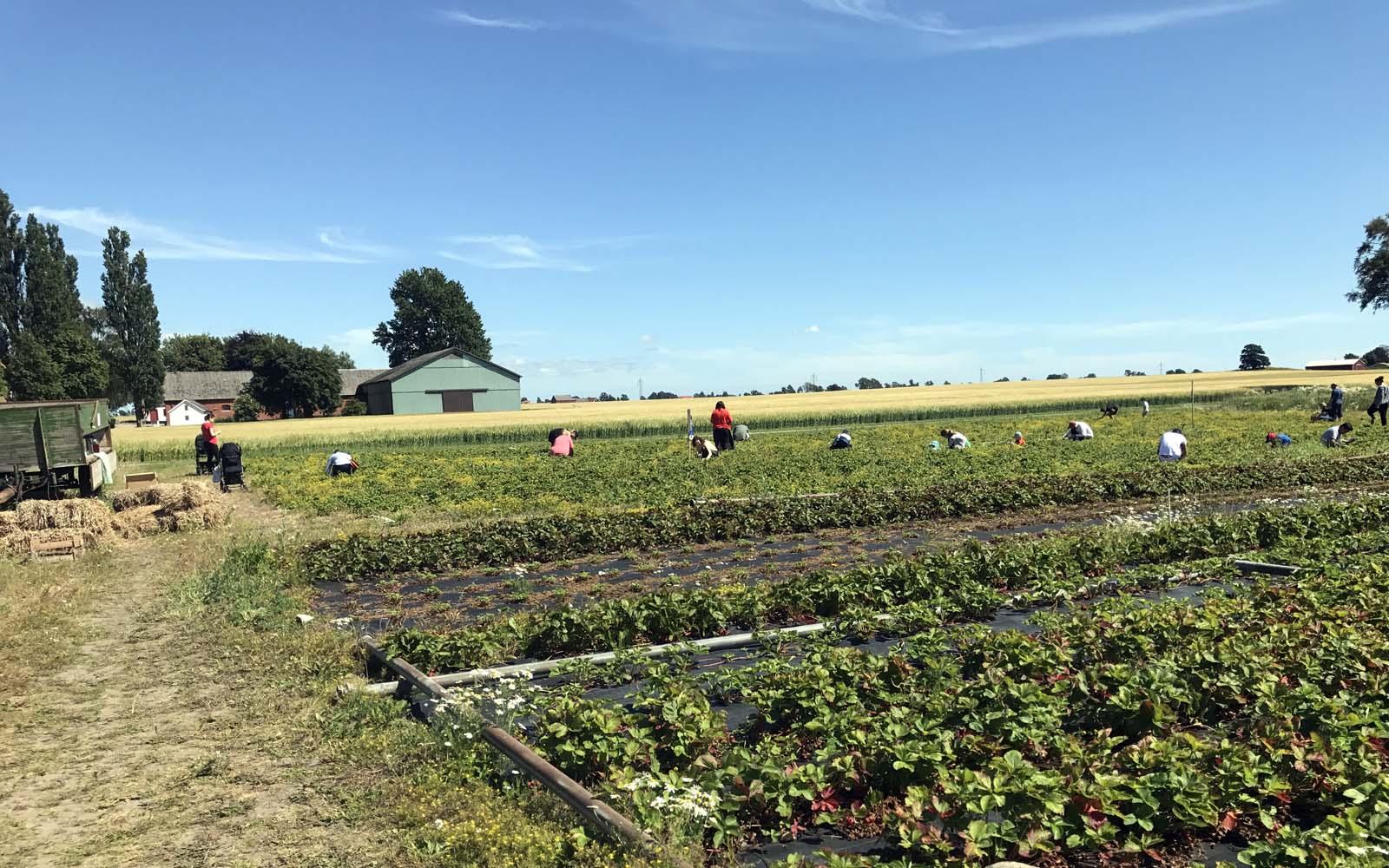 Självplockare på den gröna fabrikens jordgubbsfält