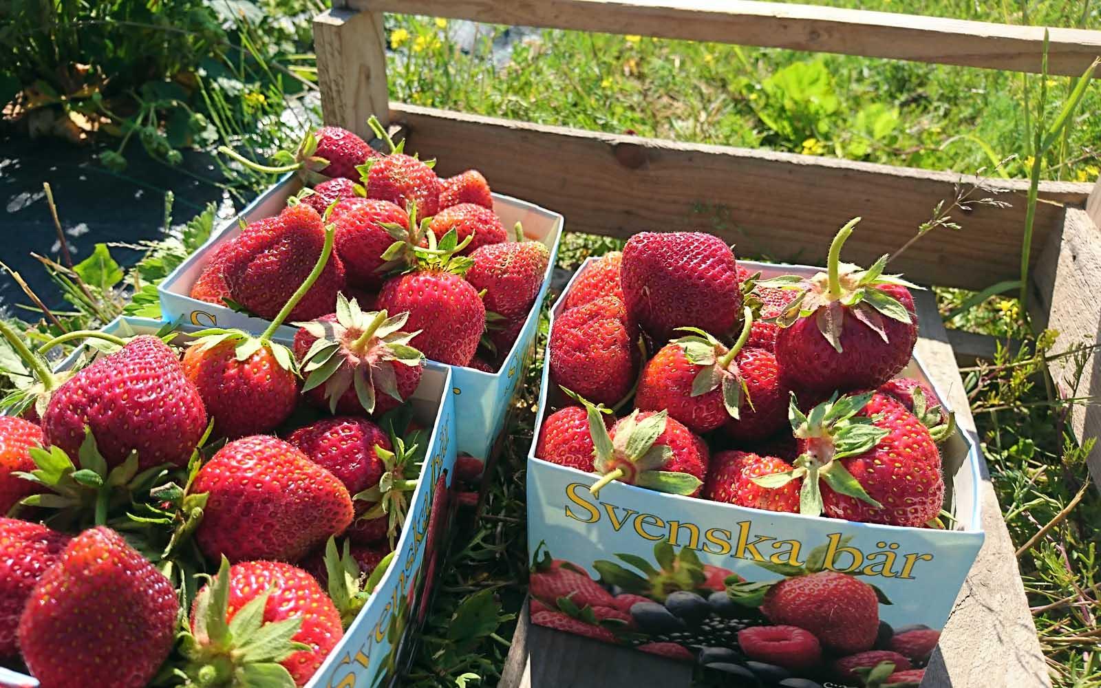 Tre askar med solmogna jordgubbar
