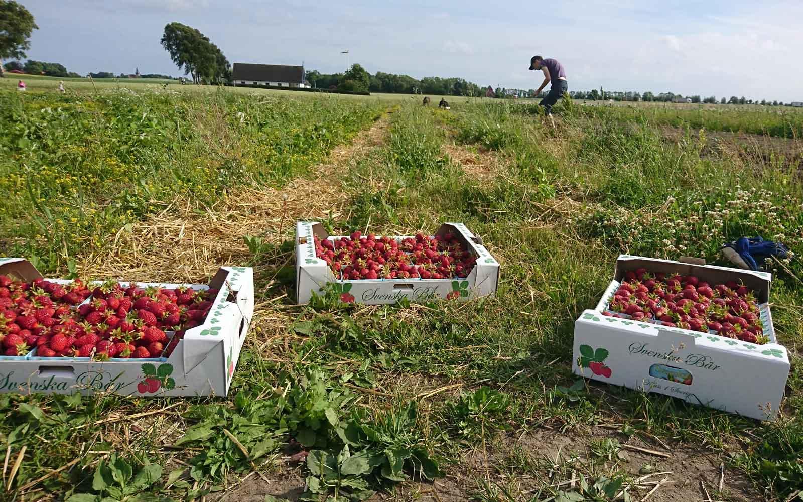 Självplock av våra jordgubbar