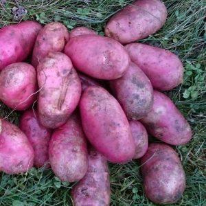 Potatisen Asterix