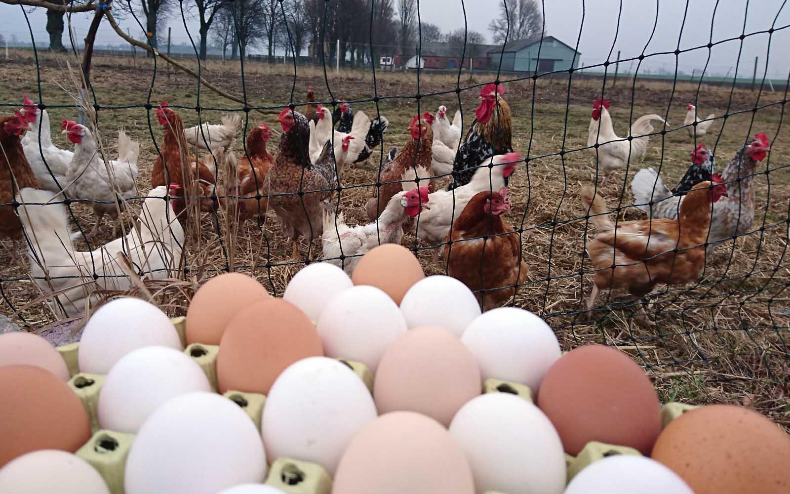 Goda ägg från lyckliga höns