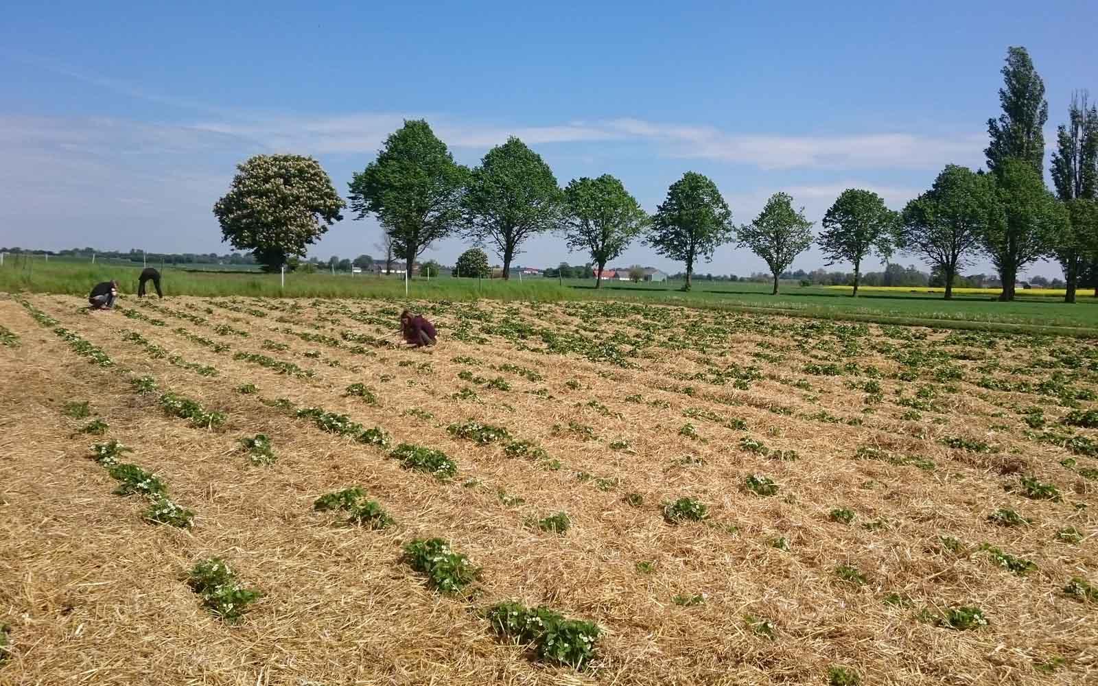 Vi lägger halm mellan jordgubbsraderna