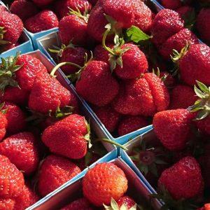 Jordgubbssorten Zephyr, en jordgubbe som smakar så som jordgubbarna smakade förr.