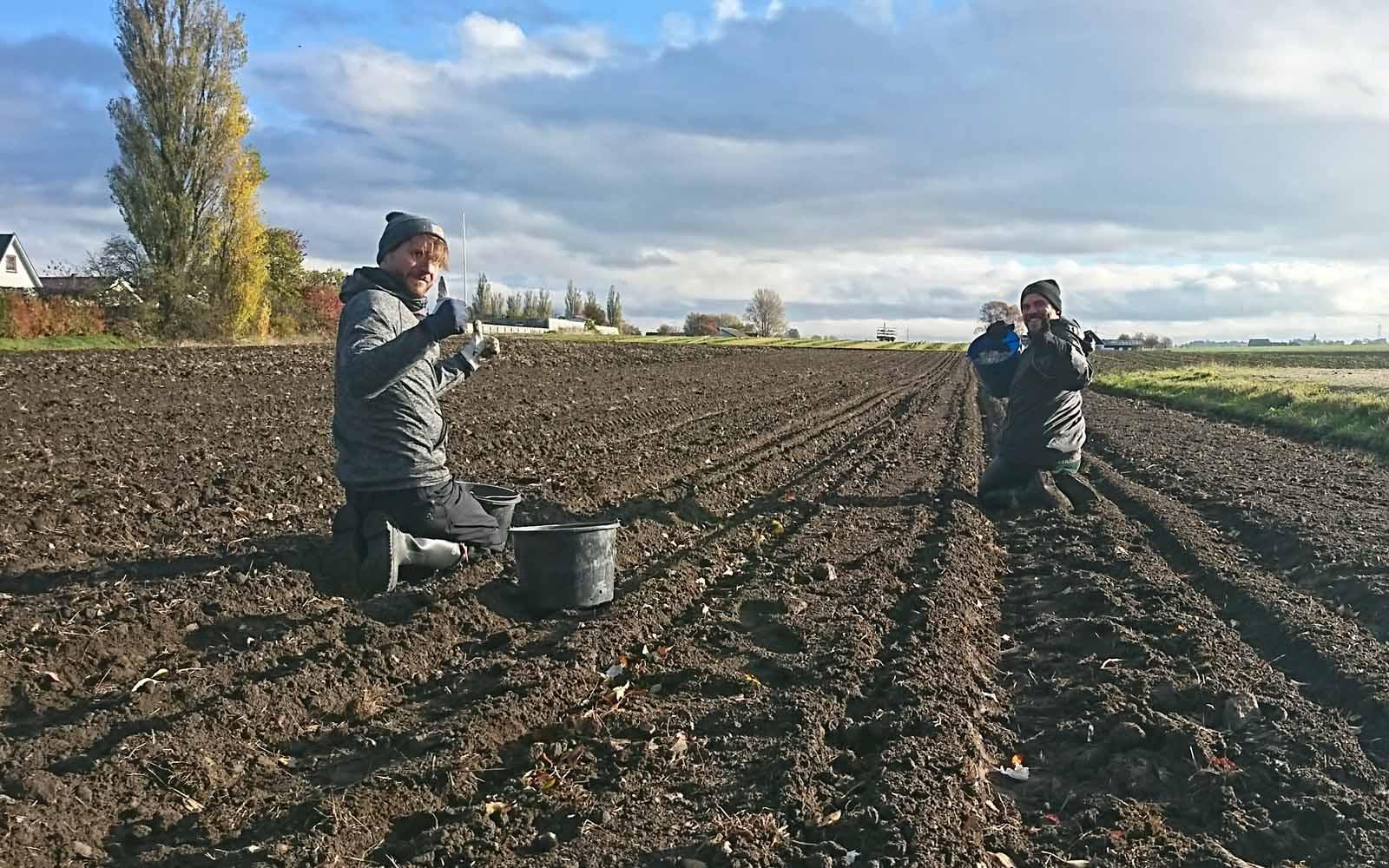 Vänner hjälper till med vitlöksplantering